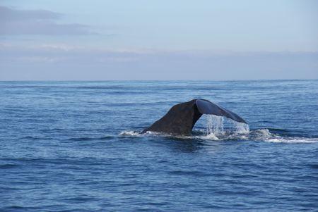Kaikoura_whale