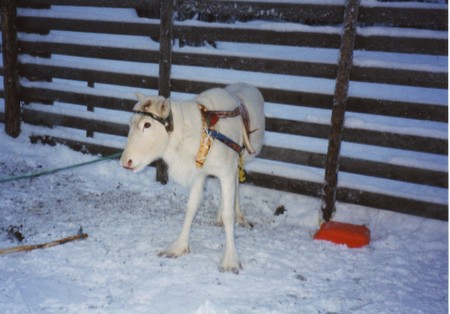 Reindeer_in_levi