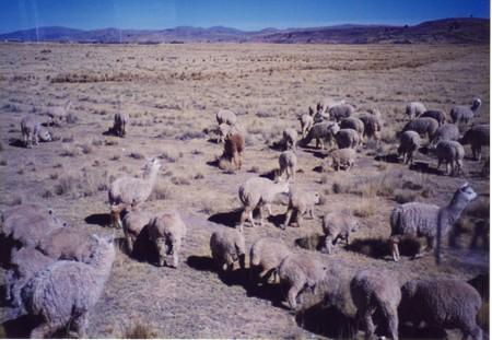 Alpaca_or_llama