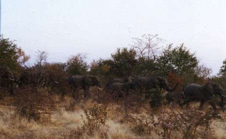 Elephants_at_victoria_falls