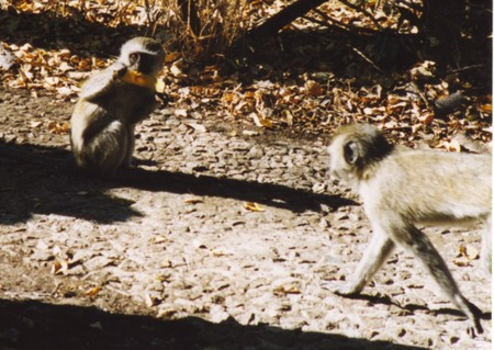 Baboon_at_victoria_falls