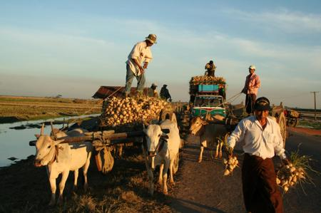 Cattle_in_myanmar