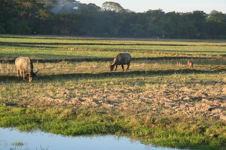 Water_buffalo_in_myanmar