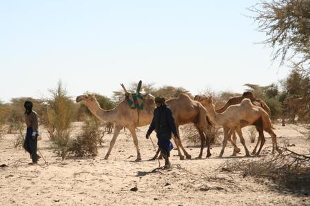Camel_in_mali