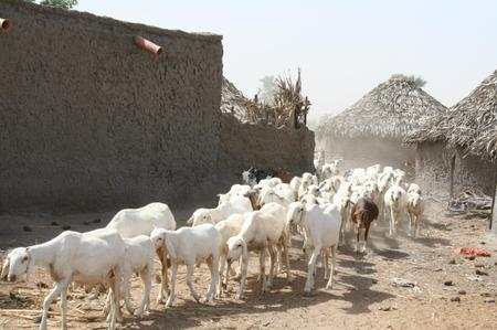 Goat_in_fulani_village_in_mali
