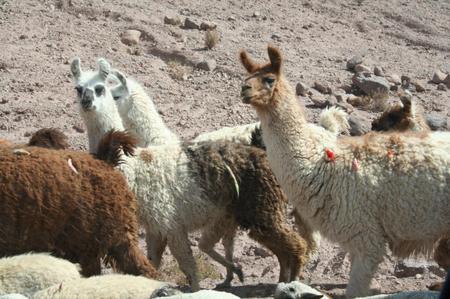 Llama_near_caspana
