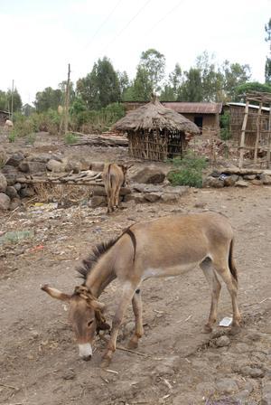 Donkey_in_tis_abbai