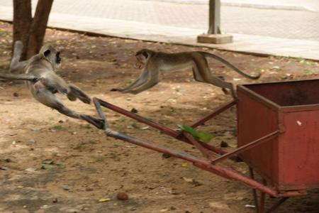 Battle_between_monkeys