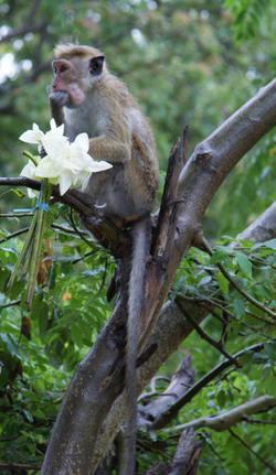 Monkey_at_anuradhapra