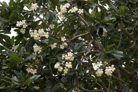 Plumeria_in_anuradhapura