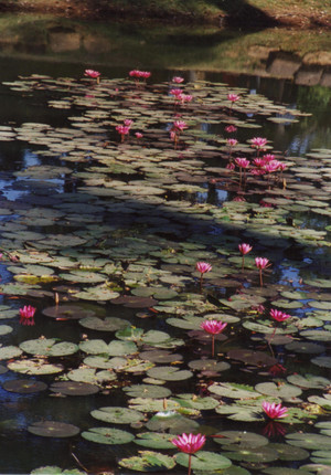 Water_lily_at_banteay_srei_in_cambo