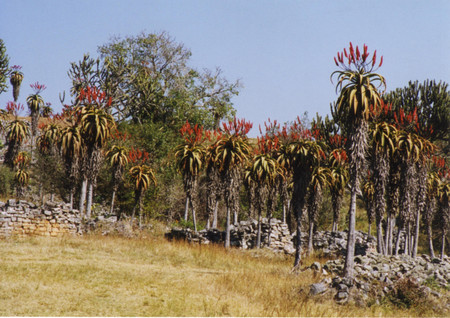 Aloe_in_great_zimbabwe
