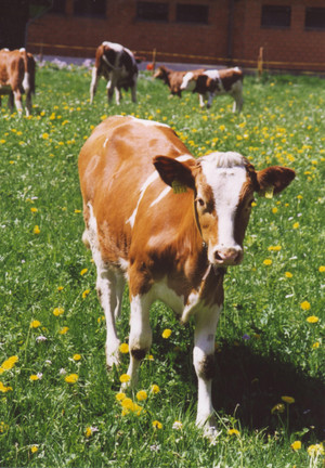 Dandelion_and_cow_at_lauterbrunnen