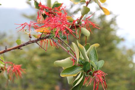 Flower_in_los_glaciares_national__4