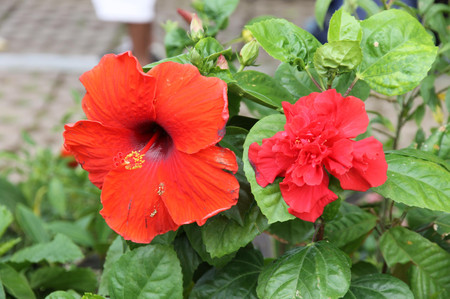 Red_flowers_on_cebu_3