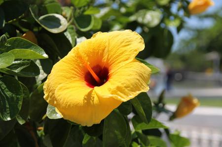 Yellow_flower_on_mactan
