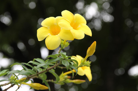 Yellow_flowers_on_cebu_1