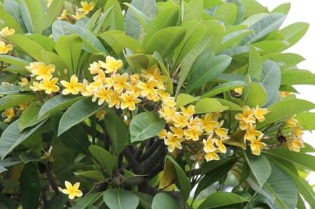 Yellow_flowers_on_cebu_2