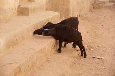 Goat_in_shibam_hadhramaut
