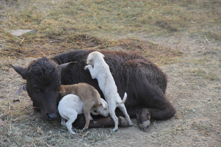 Cow_and_puppies_in_khajuraho