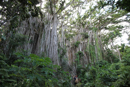 Banyan_tree_in_tanna_island