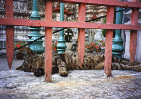 Cat_at_wat_arun_in_bangkok