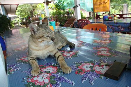 Cat_in_champasak