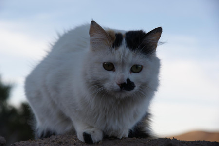 Cat_in_the_village_near_salar_de_uy