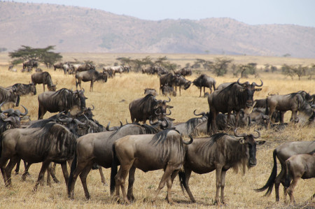 Wildebeest_in_serengeti