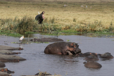 Hippopotamuses_in_ngorongoro