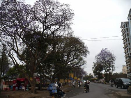 Jacaranda_in_arusha