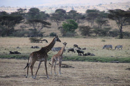 Masai_giraffes_in_serengeti
