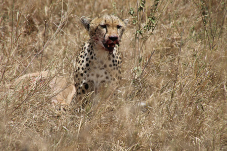 Cheetah_in_serengeti