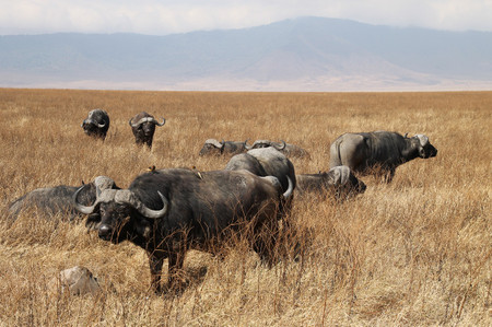 Buffalo_in_ngorongoro