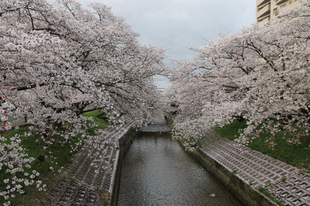 Cherry_blossoms_in_yamatotakada