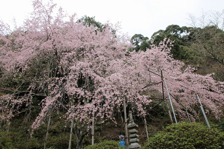 Weeping_cherry_tree_at_nyoirinji_in