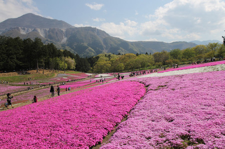 Moss_phlox_in_chichibu