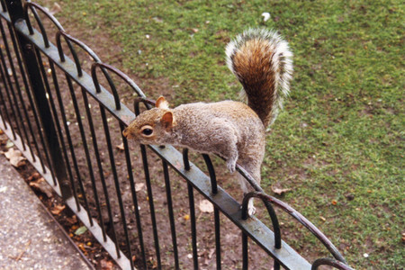Squirrel_at_st_james_park_in_london