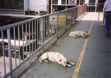 Dogs_in_bangkok