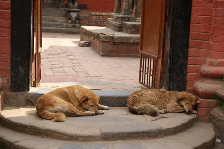 Dogs_in_patan
