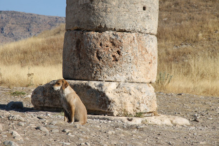 Dog_at_nemrut_dag