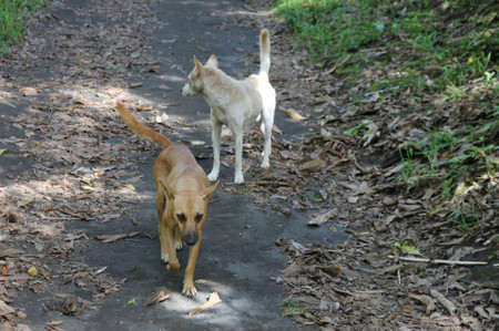 Dogs_in_tanna_island