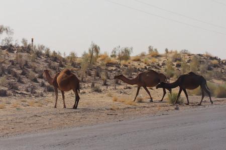 Camels_in_karakum_desert