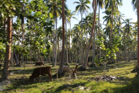 Cows-in-espiritu-santo